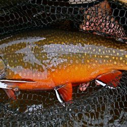 Eastern Brook Trout Photos